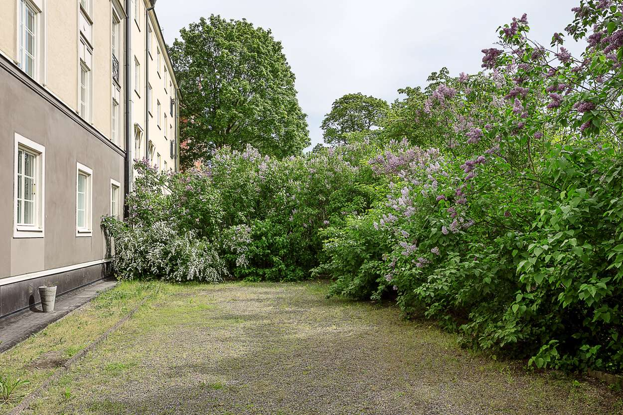 Härliga syrénbuskar på bakgården